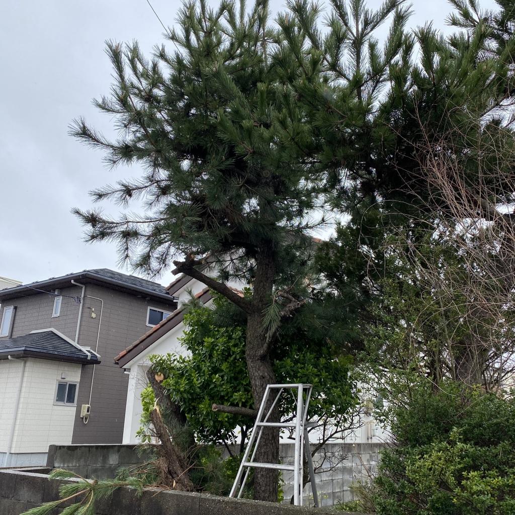 隣の家に迷惑かけたくないので伐採して欲しい!秋田市新屋で松の木伐採