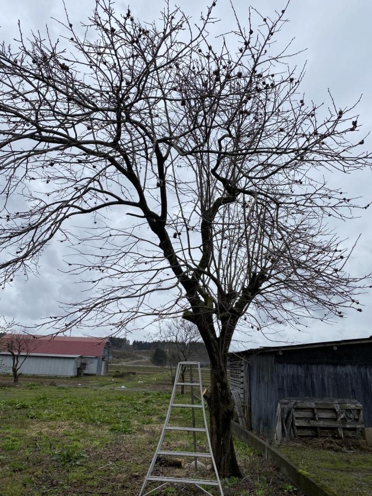 秋田市柿の木伐採!